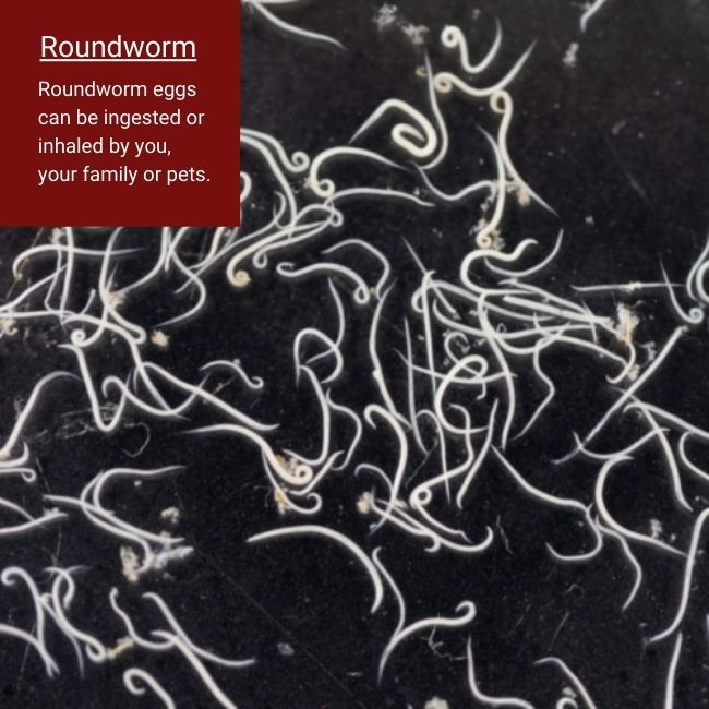 roundworms in raccoon feces